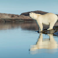 Canada, Nunavut Territory, Repulse Bay, Polar Bears (Ursus maritimus)  standing along shoreline of Harbour Islands along Hudson Bay
