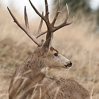 trophy nontypical mule deer buck with stickers slight turned head
