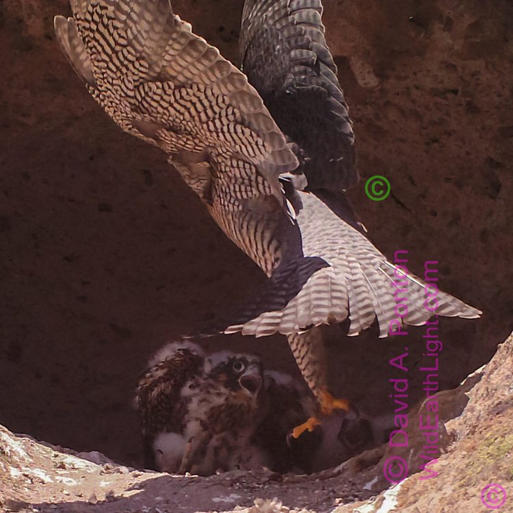 Nestling wails as adult peregrine arrives at eyrie, apparently carrying prey in right foot. © 2016 David A. Ponton [photo by motion-activated camera, low-resolution limits repro. size]