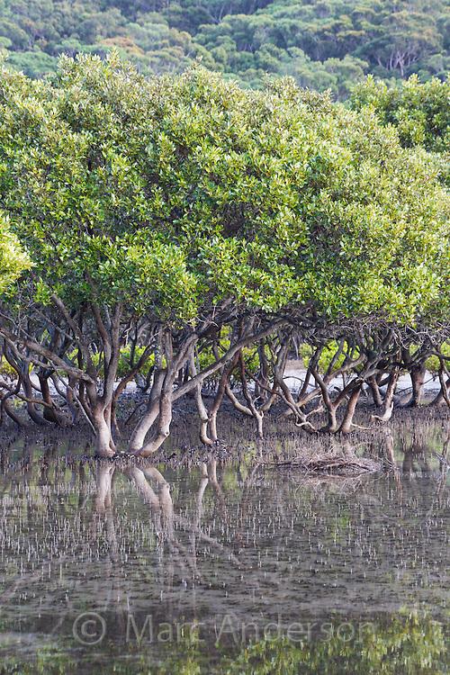 Grey Mangroves (Avicennia marina) in an estuary near Bonnie Vale in the Royal National Park, Australia