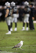 The Oakland Raiders wait for a play to start as a seagull parades around the field during the NFL week 12 regular season football game against the Kansas City Chiefs on Thursday, Nov. 20, 2014 in Oakland, Calif. The Raiders won their first game of the season 24-20. ©Paul Anthony Spinelli