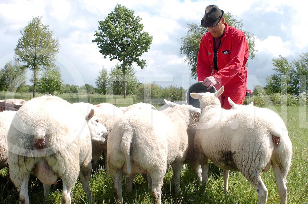 060530, zuidwolde, ned<br /> Boer Withaar bij zijn schapen.<br /> midden niet gecoupeerd en verder met gecoupeerde staarten.<br /> fotografie frank uijlenbroek&copy;2006 frank uijlenbroek