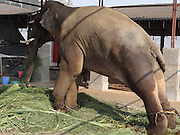 "EXCLUSIVE<br /> A maltreated Indian elephant that Sir Paul McCartney campaigned to save is still living in chains and being beaten almost two years after authorities ordered for the animal to be released to a sanctuary.<br /> The 14-year-old elephant, called Sunder, spent six years chained at the Jyotiba Temple in Kolhapur, a city south of Mumbai in India, after he was donated to the temple by a local politician. In 2012, a campaign backed by former Beatle Sir Paul was launched to free the elephant from the temple when it emerged that Sunder was being abused by his handler - the elephant was covered in scars, had an eye injury and a hole in his ear. <br /> The campaign appeared to be victorious when, that same year, the state forest department and Project Elephant, which is an Indian government scheme, ordered that Sunder should be retired to a sanctuary. But fast forward to today and the young elephant is still suffering in shocking circumstances after he was moved to an old poultry shed instead of being sent to a sanctuary to roam free. <br /> An inspection by the animal rights group People for the Ethical Treatment of Animals (PETA) carried out last month found that Sunder was unable to lie down to sleep because of heavy chains restricting  the movement of his legs. Also, no bedding material was provided and the shed he was being kept in was open on three sides, exposing Sunder to the hot sun during the day and cold weather and winds at night, explained Dr Manilal Valliyate, the director of veterinary affairs at PETA.<br /> An undercover investigation by PETA in December revealed footage of a handler violently beating Sunder with a wooden pole.<br /> ""The video reveals a malnourished-looking Sunder, chained by two legs, writhing in pain and struggling to stand as the mahout strikes him repeatedly with the pole,"" PETA said. ""Sunder visibly recoils in fear from the weapon-wielding mahout (handler), who continues to threaten him with violence after he has stood."" <br /> PETA is striving to get Sunde"