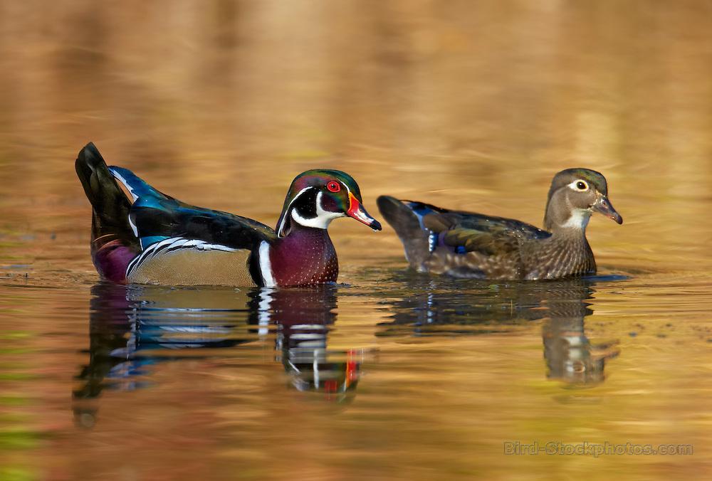 Wood Duck, Aix sponsa, pair, October, Calgary, Alberta, Canada, by Ignacio Yúfera