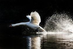 © Licensed to London News Pictures. 01/05/2018. Leeds UK. A Swan takes flight on the lake at Golden Acre Park in Leeds this morning as Yorkshire awoke to bright sunshine. Photo credit: Andrew McCaren/LNP
