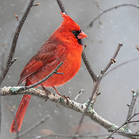 Male Cardinal in a snowstorm