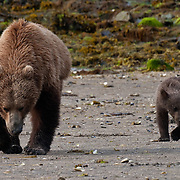 Coastal Brown bear, (Ursus arctos) with cub hunt for clams in  Geographic Harbor along the Katmai Coast, Alaska