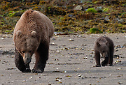Coastal Brown bear, (Ursus arctos) with cub hunt for clams in  Geographic Harbor along the Katmai Coast, Alaska