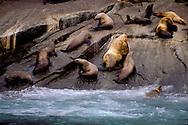 The Steller sea lion (Eumetopias jubatus), also known as the northern sea lion and Steller's sea lion, is a near-threatened species of sea lion in the northern Pacific. It is the sole member of the genus Eumetopias and the largest of the eared seals (Otariidae) and is also the largest species of sea lion.