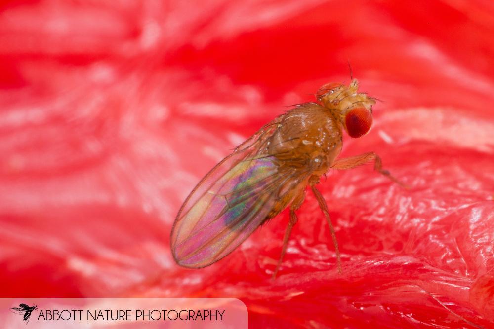 Vinegar or Fruit Fly (Drosophila sp.) on grapefruit<br /> TEXAS: Williamson Co.<br /> Cedar Park<br /> 3-Nov-2014<br /> J.C. Abbott &amp; K.K. Abbott