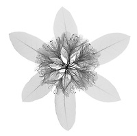 X-ray image of a rhododendron bloom with leaves (Rhododendron, black on white) by Jim Wehtje, specialist in x-ray art and design images.