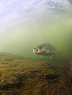 Inconnu (Sheefish)<br />