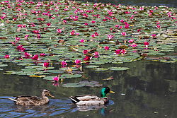 Englefield Green, UK. 27 June, 2019. Male and female mallard ducks navigate around flowering water lilies in the Cow Pond, an ornamental lake in Windsor Great Park, on a warm, sunny June day. Temperatures are expected to rise in the south of England before the weekend as the heatwave intensifies still further in much of mainland Europe. The Cow Pond was renovated in 2012 to commemorate the Queen's Diamond Jubilee.