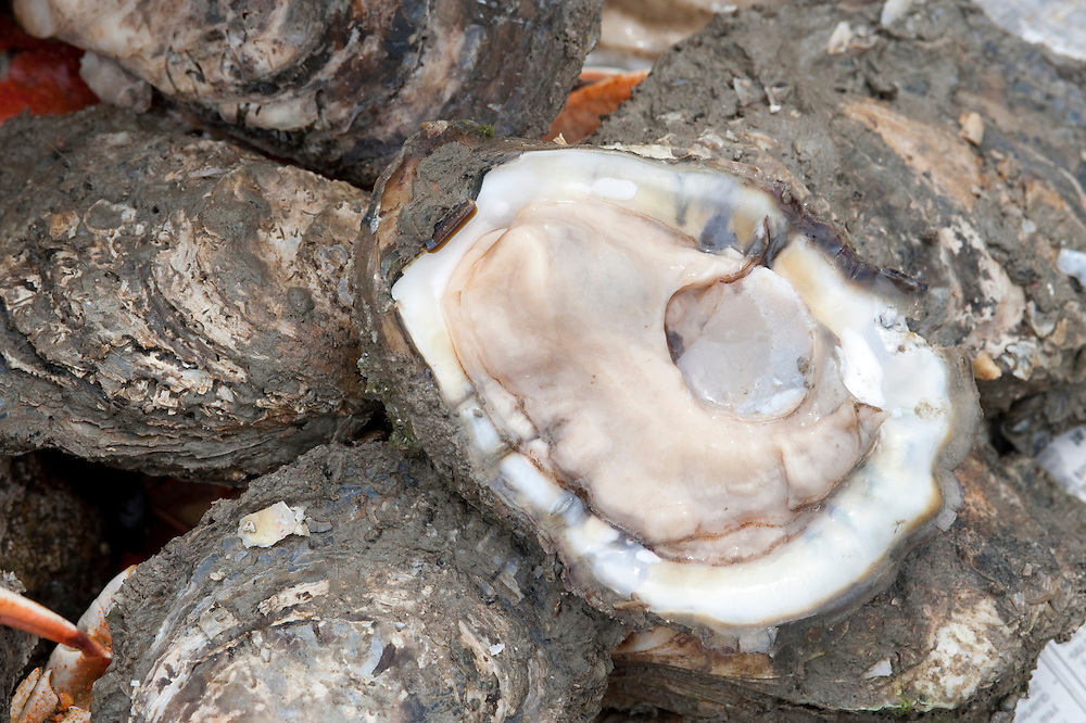 CHesapeake bay oysters