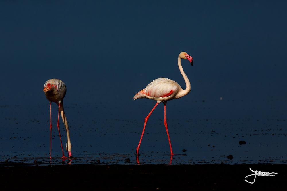 Greater Flamingo's (or Rosy Flamingo) Phoenicopterus ruber, Phoenicopterus roseus, Större Flamingo, feeding in Lake Ndutu in morning light, Serengeti.