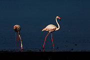 Greater Flamingo's (or Rosy Flamingo) Phoenicopterus ruber, Phoenicopterus roseus, Större Flamingo, feeding in Lake Ndutu in morning light, Serengeti.