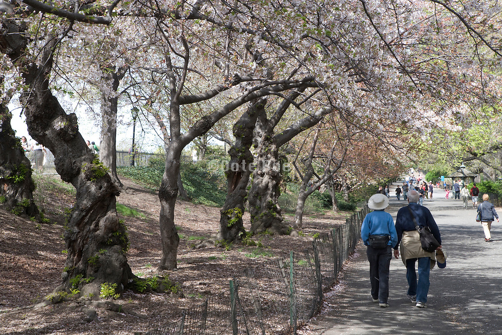 cherry blossom garden Central park New York City