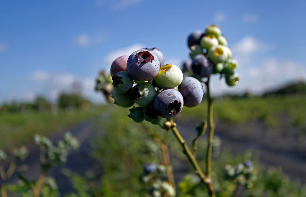 Lithia,FL- 4/1/11-  Organic u-pick blueberry farm. (Photo by /Scott Iskowitz)