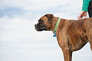 Boxer stands as owner scratches him