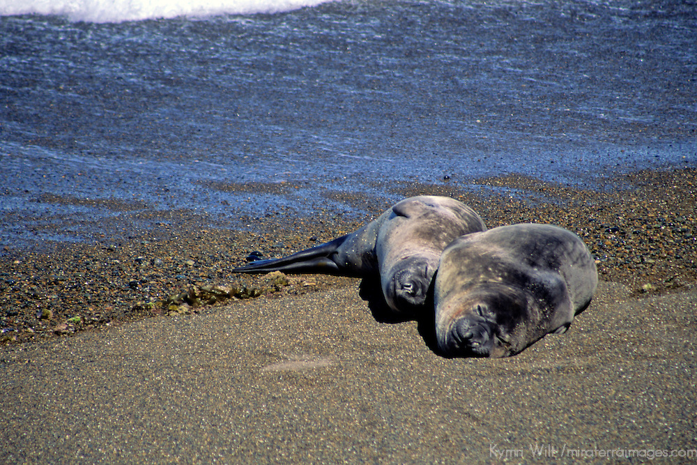 South America, Argentina, Valdes Peninsula. Sea Lion pair of the Valdes Peninsula.
