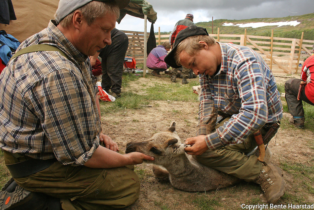 Nils-Aksel Bransfjell får hjelp av onkelen Nils Tony Bransfjell, som ellers driver bedriften Fjellvilt på Brekken. Kalvmerking, Saanti sijte, Skarpdalen, Tydal/Meråker. Reindeer herding.