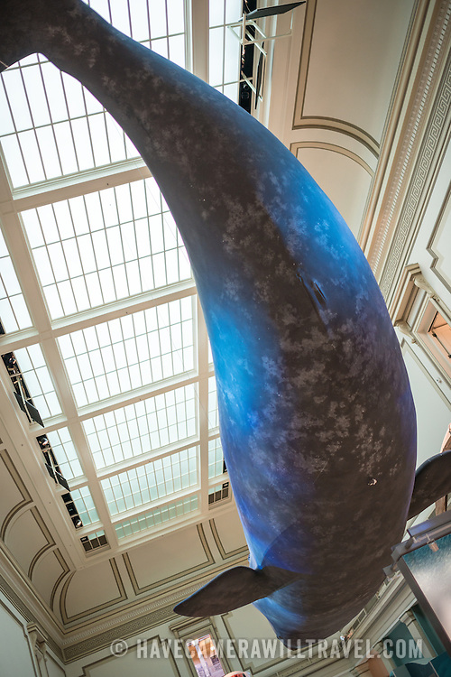 A full-size model of a Blue Whale hangs from the ceiling in the oceans exhibit at the Smithsonian National Museum of Natural History in Washington DC.