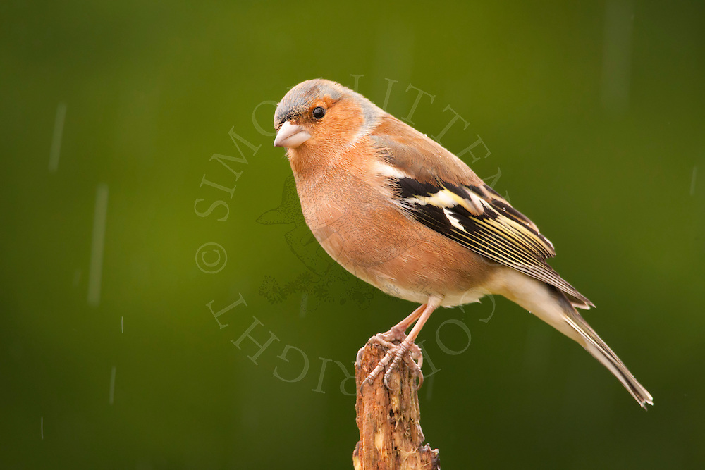 Chaffinch (Fringilla coelebs) adult male perched on stick in rain, Norfolk, UK.