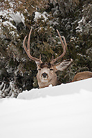 Mule Deer resting under a cedar tree it is january 2017 hard snows in northern Utah it's been some time Utah has seen this amount of snow it slows people and the wildlife down! mother nature is making a statement.