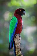 Red-Breasted Musk Parrot, Prosopeia tabuensis taviunesis, Kaka, Kula Eco Park, Vitu Levu, Fiji