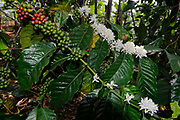 Flowers and fruits of Arabian coffee (Coffea arabica) from Biwindi, southern Uganda.