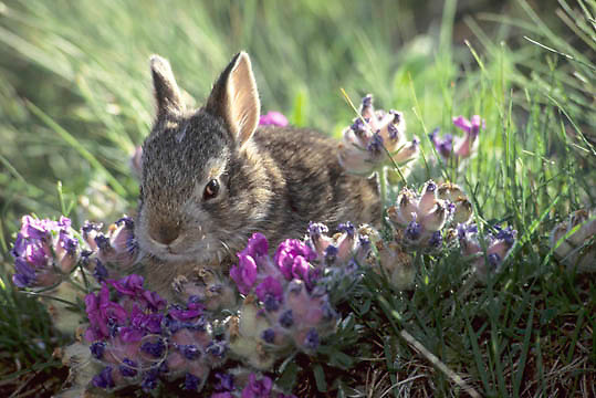 Mountain Cottontail, (Sylvilagus nuttalli) Portrait of bunny in spring flowers. Captive Animal.