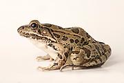 A Rio Grande leopard frog (Rana berlandieri), Texas. Temporarily captive.