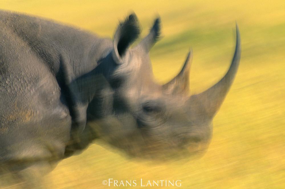 Black rhinoceros running, Diceros bicomis, Masai Mara Reserve, Kenya