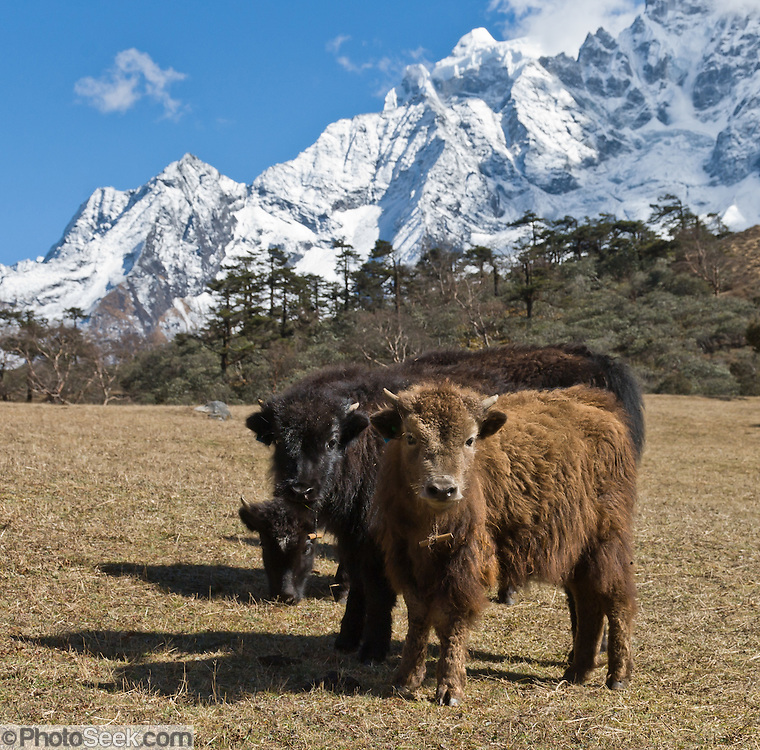 Young yaks, in Sagarmatha National Park, Nepal.  Behind them, the peak of Thamserku rises to 21,680 feet / 6608 meters elevation, in the Khumbu District of Nepal. Sagarmatha National Park was created in 1976 and honored as a UNESCO World Heritage Site in 1979.