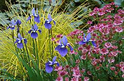 Iris sibirica 'Placid Waters'  with Carex elata 'Aurea' and Astrantia 'Roma'