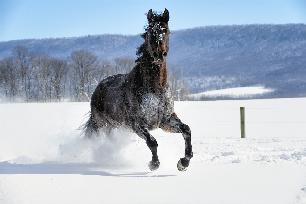 Black horse running through white powder snow in sunlight with power and freedom, side view, farm land in Pennsylvania, PA, USA.