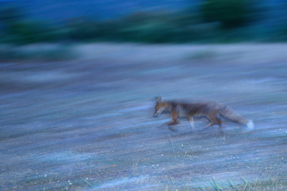 Red fox, Vulpes vulpes, CAMPANARIOS DE AZÁBA RESERVE, SALAMANCA PROVINCE, CASTILLA Y LEÓN, SPAIN, in the Western Iberia rewilding area
