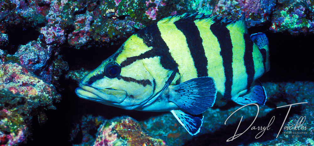 Yellow-Banded Perch (Acanthistius cinctus) at the Kermadec islands. New Zealand