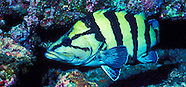 Yellow banded perch