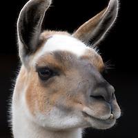 Closeup of Llama's head