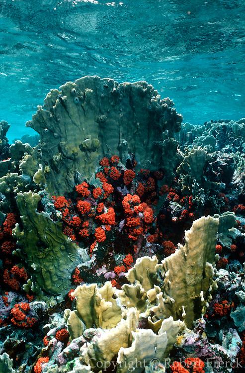 UNDERWATER MARINE LIFE CARIBBEAN, generic Fire coral Millipora conaplanata