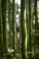 Wavy bamboo stem wet after rain in the nature scenery of Arashiyama bamboo forest, Kyoto, Japan.