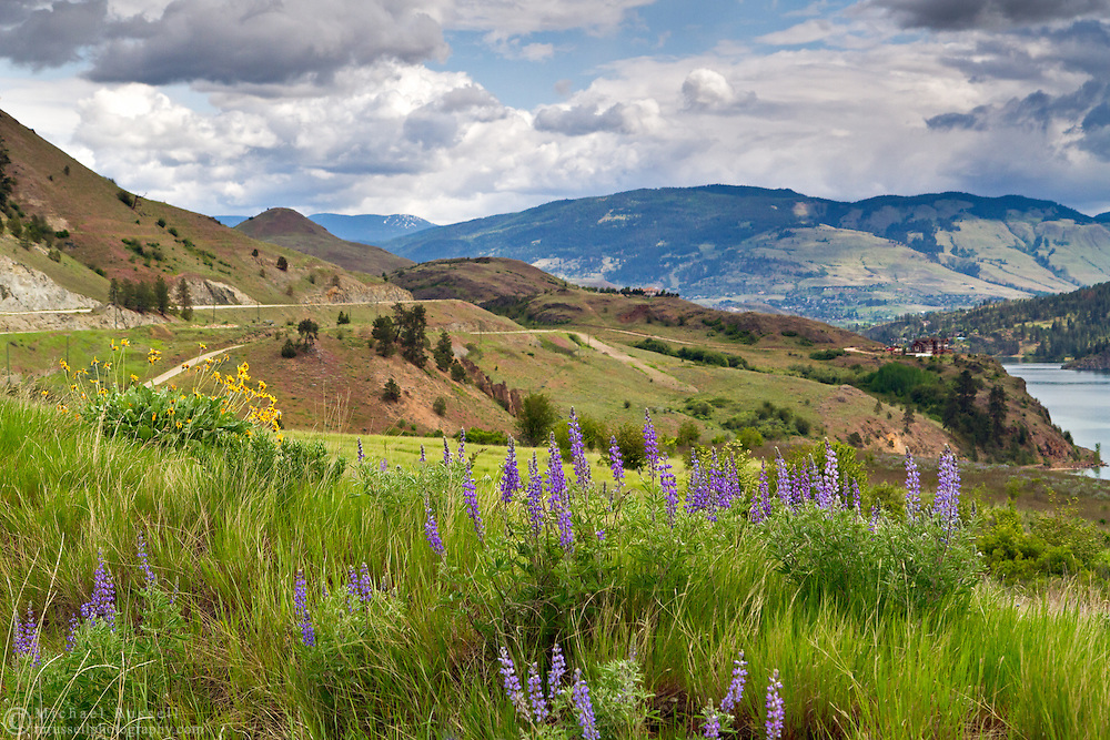 Lupines and Balsamroot at Kekuli Bay Provincial Park on Kalamalka Lake near Vernon, British Columbia, Canada