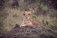 A Lioness in the Masai Mara National Reserve, Kenya, Africa