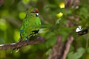 Red-crowned Parakeet, Kakariki, New Zealand