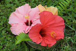 Chile, Easter Island: Colorful red and pink flowers..Photo #: ch294-32978.Photo copyright Lee Foster www.fostertravel.com lee@fostertravel.com 510-549-2202