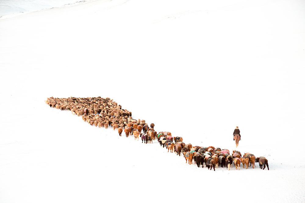 Exhausted Livestock crossing through the Altai Mountain of Western Mongolia during a Spring Migration. During the 5 days 150km journey, the animals have to dig through the snow to find something to eat, which is almost nothing. at -30C these are truly extreme conditions.