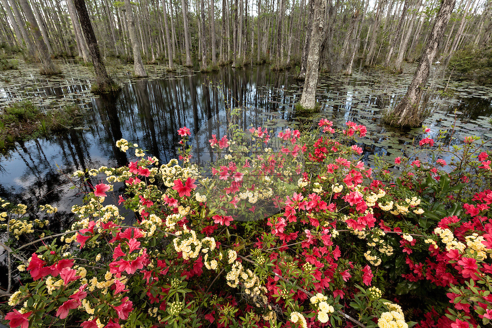 Azaleas blooming along the edge of blackwater bald cypress and tupelo swamp during spring at Cypress Garden April 9, 2014 in Moncks Corner, South Carolina.