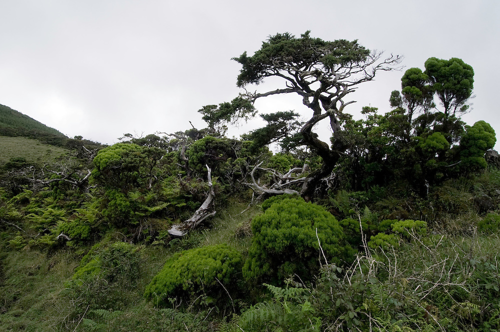 Cloud-zone bush including the Juniper, Juniperus brevifolia, endemic to the Azores, Pico, Azores, Portugal