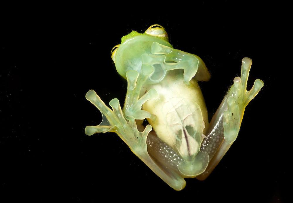 Glass Frog from below.